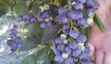 Bonnies Blueberries - blueberries,