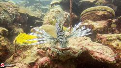 Lionfish are found from 10' to over 300' deep