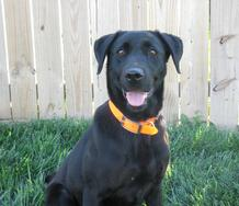 Big Bear Kennel - Labrador Puppies For Sale, British