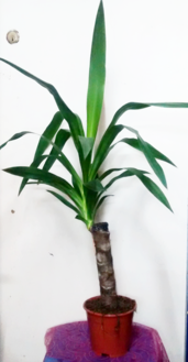 Yucca Plant | Indoor plants | House plants | The Little Flowershop