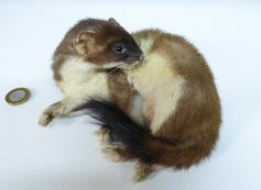Adrian Johnstone, professional Taxidermist since 1981. Supplier to private collectors, schools, museums, businesses, and the entertainment world. Taxidermy is highly collectable. A taxidermy stuffed Stoat (675) in excellent condition. Mobile: 07745 399515 Email: adrianjohnstone@btinternet.com
