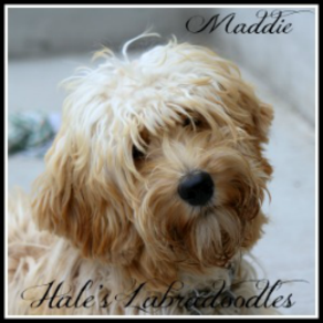 Hale's Australian Labradoodle named Maddie