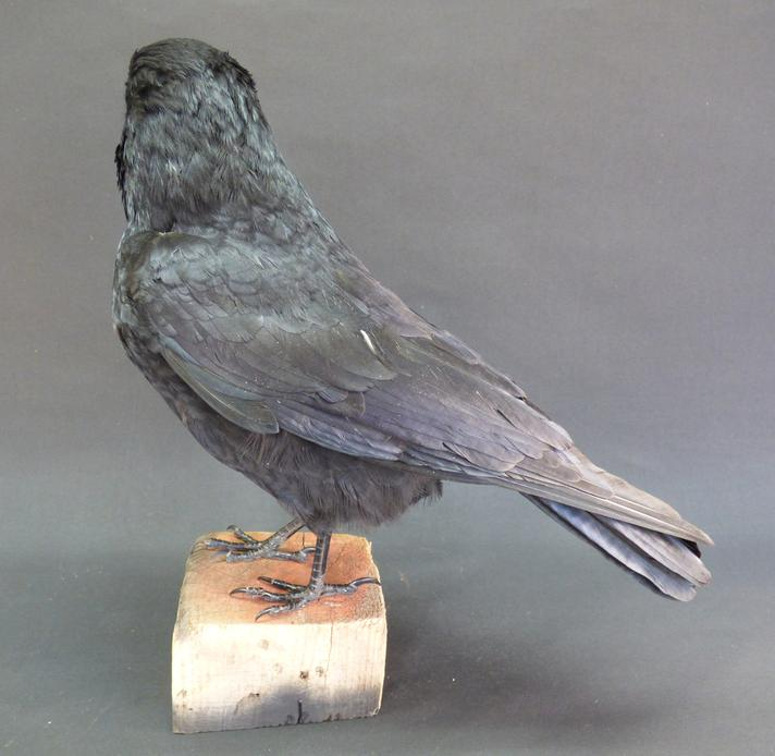 Adrian Johnstone, professional Taxidermist since 1981. Supplier to private collectors, schools, museums, businesses, and the entertainment world. Taxidermy is highly collectable. A taxidermy stuffed Carrion Crow (9216), in excellent condition.