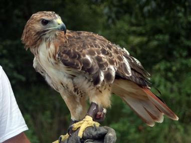 Falconry Birds Of Prey Abatement Education Weddings Entertainment Bird Control Falconry Programs Nuisance Birds
