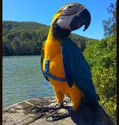 Blue and Gold Macaw for sale Sydney Australia