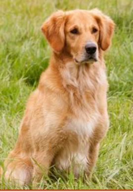 Golden Retriever Puppies For Sale Wisconsin