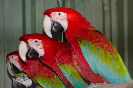 Green Winged Macaws for sale Australia