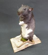 Adrian Johnstone, professional Taxidermist since 1981. Supplier to private collectors, schools, museums, businesses, and the entertainment world. Taxidermy is highly collectable. A taxidermy stuffed Rat (11), in excellent condition.