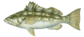 CALICO SAND BASS WHITE DEEP SEA FISHING 4 AND 6 PACK PRIVATE CHARTER