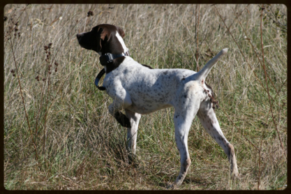 Training A Bird Dog Without Live Birds