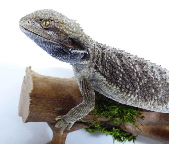 Adrian Johnstone, professional Taxidermist since 1981. Supplier to private collectors, schools, museums, businesses, and the entertainment world. Taxidermy is highly collectable. A taxidermy stuffed Bearded Dragon (570) in excellent condition. Mobile: 07745 399515 Email: adrianjohnstone@btinternet.com