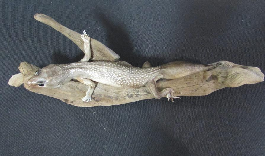 Adrian Johnstone, professional Taxidermist since 1981. Supplier to private collectors, schools, museums, businesses, and the entertainment world. Taxidermy is highly collectable. A taxidermy stuffed Spotted Lizard (20), in excellent condition.