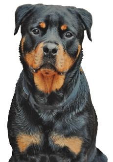 Cincinnati Hills Animal Clinic Roman the Rottweiler