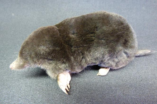 Adrian Johnstone, professional Taxidermist since 1981. Supplier to private collectors, schools, museums, businesses, and the entertainment world. Taxidermy is highly collectable. A taxidermy stuffed Mole (30), in excellent condition.