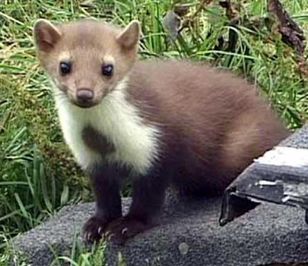 Stone-marten-or-Fouine-in-France