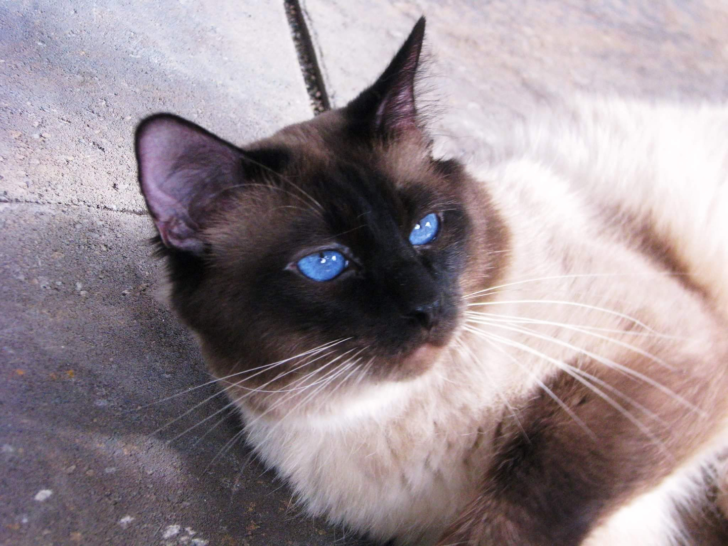 The Balinese Cat