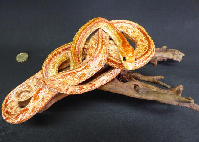 Adrian Johnstone, Professional Taxidermist since 1981. Supplier to private collectors, schools, museums, businesses and the entertainment world. Taxidermy is highly collectable. A taxidermy stuffed Corn Snake (164), in excellent condition.