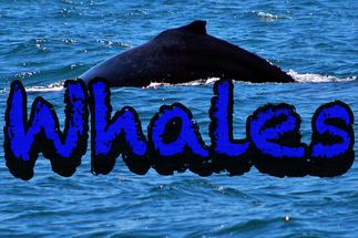 Whales Newport Beach California Gray Grey Ocean
