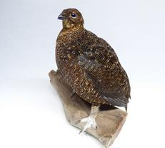 Adrian Johnstone, professional Taxidermist since 1981. Supplier to private collectors, schools, museums, businesses, and the entertainment world. Taxidermy is highly collectable. A taxidermy stuffed Red Grouse (600) in excellent condition. Mobile: 07745 399515 Email: adrianjohnstone@btinternet.com