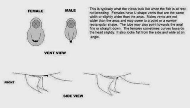 More flowerhorn guides on caring, breeding, determining sex