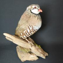 Adrian Johnstone, professional Taxidermist since 1981. Supplier to private collectors, schools, museums, businesses, and the entertainment world. Taxidermy is highly collectible. A taxidermy stuffed Red Legged Partridge (8627), in excellent condition.