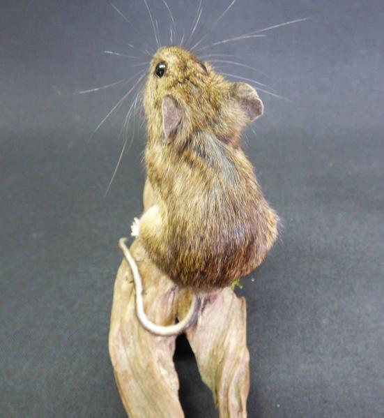 Adrian Johnstone, Professional Taxidermist since 1981. Supplier to private collectors, schools, museums, businesses and the entertainment world. Taxidermy is highly collectable. A taxidermy stuffed Field Mouse (48), in excellent condition.