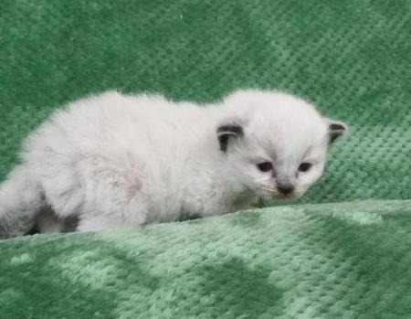 Ragdoll Kittens, Ragdoll kittens For Sale, Ragdoll Cats, Rag Doll