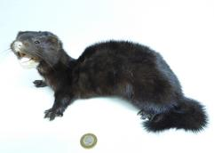 Adrian Johnstone, professional Taxidermist since 1981. Supplier to private collectors, schools, museums, businesses, and the entertainment world. Taxidermy is highly collectable. A taxidermy stuffed American Mink (699) in excellent condition. Mobile: 07745 399515 Email: adrianjohnstone@btinternet.com
