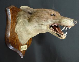 Adrian Johnstone, professional Taxidermist since 1981. Supplier to private collectors, schools, museums, businesses, and the entertainment world. Taxidermy is highly collectible. A taxidermy stuffed antique Spicer Fox Mask, in excellent condition.