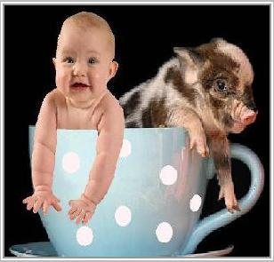 Teacup Pigs Miniature Dandie Is There Such A Pig Out