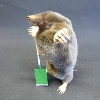 Adrian Johnstone, Professional Taxidermist since 1981. Supplier to private collectors, schools, museums, businesses and the entertainment world. Taxidermy is highly collectible. A taxidermy stuffed Gardening Mole (78), in excellent condition.