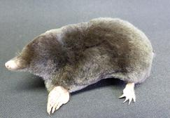 Adrian Johnstone, professional Taxidermist since 1981. Supplier to private collectors, schools, museums, businesses, and the entertainment world. Taxidermy is highly collectable. A taxidermy stuffed adult Mole (4), in excellent condition.