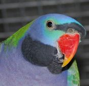 Derbyan Parrots for sale Australia