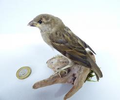 Adrian Johnstone, professional Taxidermist since 1981. Supplier to private collectors, schools, museums, businesses, and the entertainment world. Taxidermy is highly collectable. A taxidermy stuffed House Sparrow (182), in excellent condition. Mobile: 07745 399515 Email: adrianjohnstone@btinternet.com