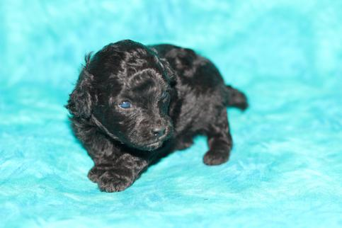 Toy Poodles For Sale In Louisiana