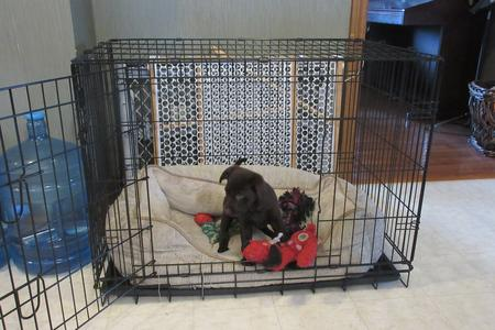 Chocolate Lab Puppy Crate Training