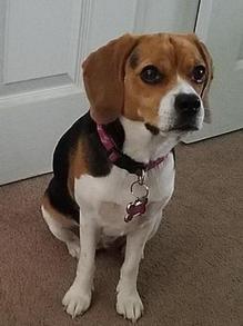Beagle Puppies for Sale Tampa FL, AKC Beagles Tampa Florida