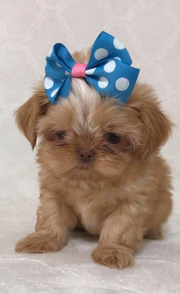 Sweet Pea Shih Tzus Chocolate Akc Shih Tzu Puppies