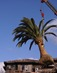 Phoenix canariensis - Canary Island date palm South Coast Wholesale, California, Florida, Las Vegas,Texas, Arizona