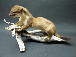 Adrian Johnstone, professional Taxidermist since 1981. Supplier to private collectors, schools, museums, businesses, and the entertainment world. Taxidermy is highly collectable. A taxidermy stuffed adult Stoat (63), in excellent condition.