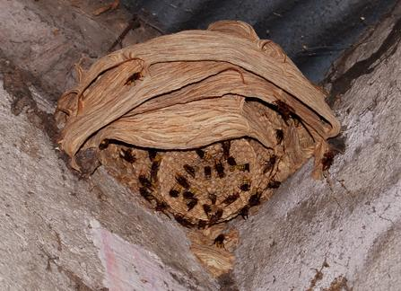 Hornet-nest-in-building-France