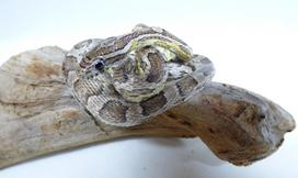 Adrian Johnstone, professional Taxidermist since 1981. Supplier to private collectors, schools, museums, businesses, and the entertainment world. Taxidermy is highly collectible. A taxidermy stuffed Corn Snake (612), in excellent condition. Mobile: 07745 399515 Email: adrianjohnstone@btinternet.com