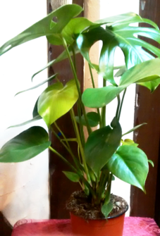 Monstera (Cheese plant)| Indoor plants | House plants | The Little Flowershop