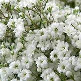 Million Star Gypsophila