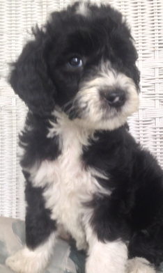 Available sheepdoodle / sheepadoodle puppies