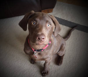 Chocolate Lab Puppy Training