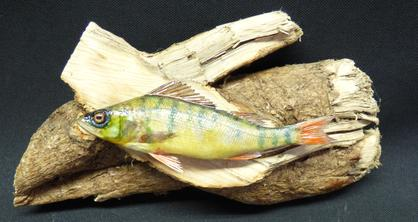 Adrian Johnstone, professional Taxidermist since 1981. Supplier to private collectors, schools, museums, businesses, and the entertainment world. Taxidermy is highly collectable. A taxidermy stuffed young Perch (11), in excellent condition.