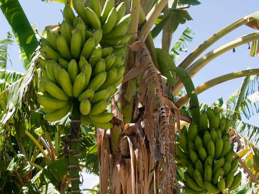 picture of a banana tree