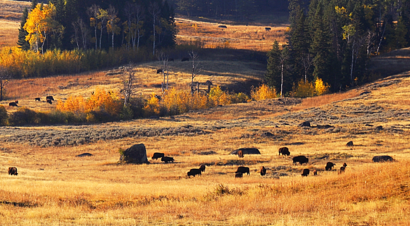 Yellowstone National Park, day rides, yellowstone bison, buffalo, pack trips