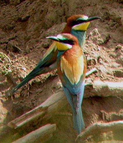 Two-bee-eaters-in-France